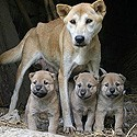 Gestation Lactation chienne.