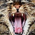 Tartre, Mauvaise haleine chat.
