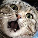 Le Chat anxieux, angoissé.