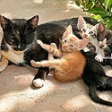 Allaitement chatons